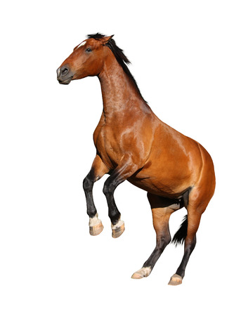 rearing: Beautiful brown horse rearing up isolated on white background