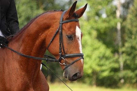 Bay sport horse portrait during dressage competition