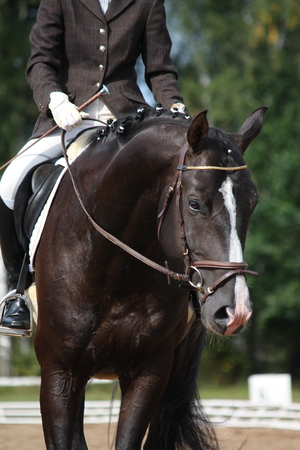 Beautiful brown sport horse portrait during dressage competition