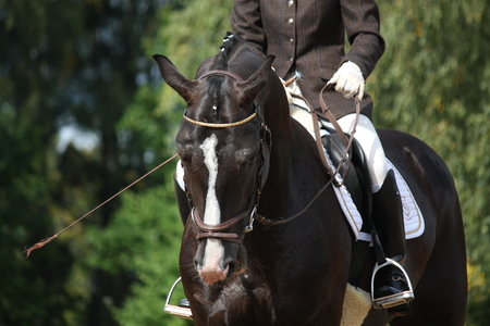 Beautiful brown sport horse portrait during dressage competition Editorial