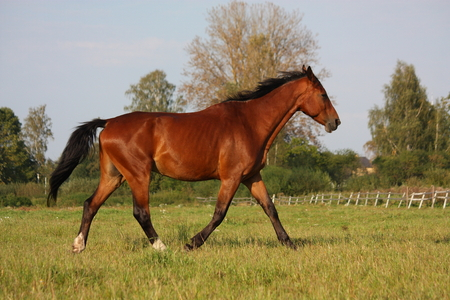 Brown horse running free at the field in summer Stock Photo