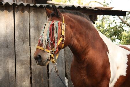 skewbald: Latvian skewbald draught horse portrait in summer