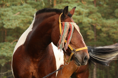 Latvian skewbald draught horse portrait in summer photo