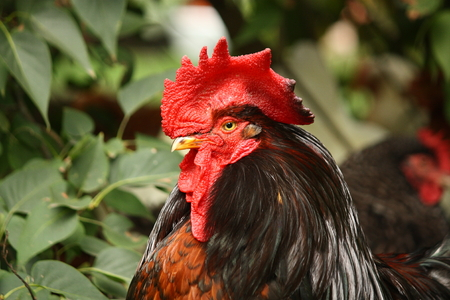 Black and red rooster portrait in summer photo
