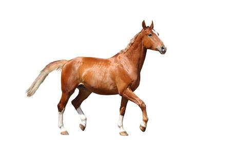 Chestnut horse running free on white background