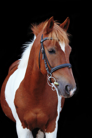 skewbald: Beautiful skewbald welsh pony portrait on black background
