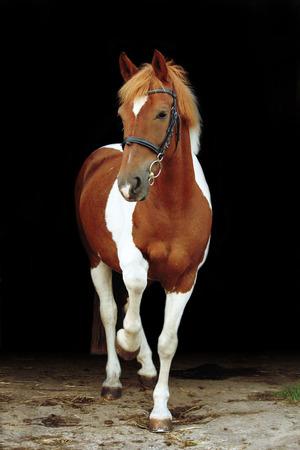 skewbald: Adorable welsh skewbald pony lifting his leg on black background Stock Photo