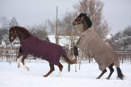rearing: Two horses in rugs rearing in the snow