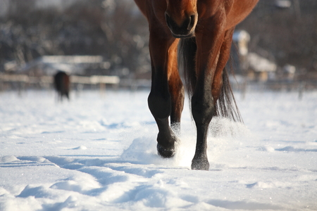 rout: Brown horse walking through the snow close up