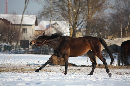 Bay horse running free at the field in winter Stock Photo