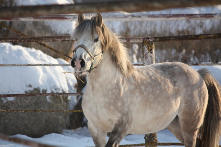 shetland pony: Beautiful white shetland pony portrait in winter Stock Photo