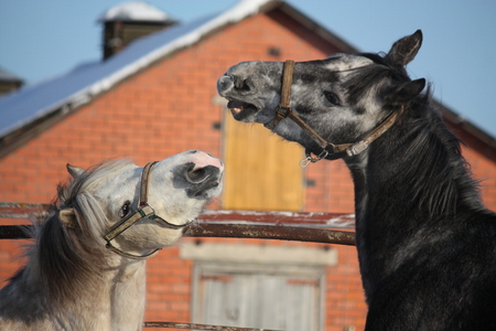 sibling rivalry: Two gray ponies fighting playfully in the winter paddock