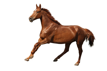 cantering horse: Brown horse cantering free isolated on white background
