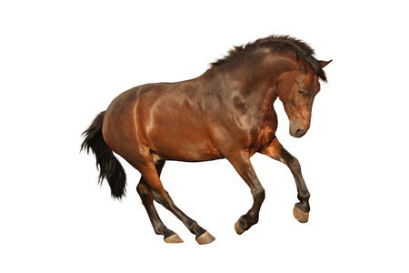 cantering horse: Brown horse galloping isolated on white background Stock Photo
