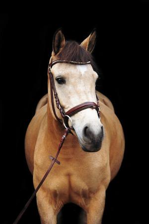 dun: Buckskin cute pony portrait on black background