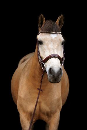 buckskin horse: Buckskin cute pony portrait on black background