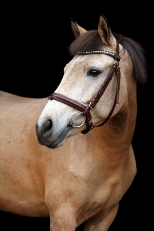 Buckskin cute pony portrait on black background photo