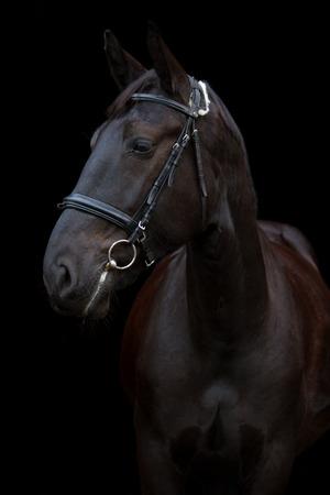 caballo negro: Retrato negro del caballo aislado en el fondo negro