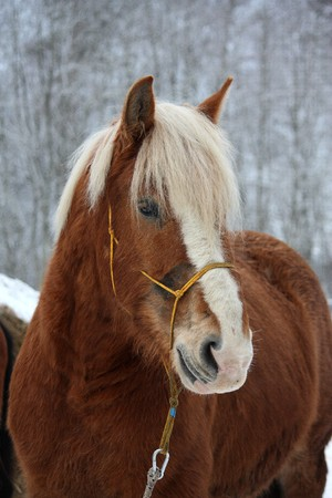 draught horse: Beautiful palomino draught horse portrait in winter Stock Photo