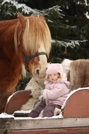 draught horse: Cute little girl sitting in the sledges and big palomino draught horse standing near
