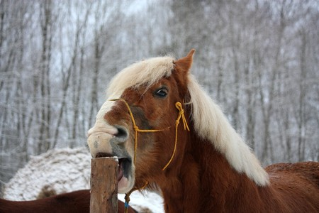 draught horse: Palomino draught horse cribbing wooden fence (stable vice)