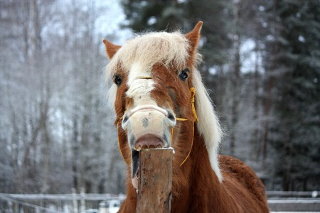 habbit: Palomino draught horse cribbing wooden fence (stable vice)