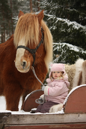 draught: Cute little girl sitting in the sledges and big palomino draught horse standing near