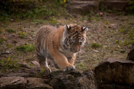 tigre cachorro: Lindo peque�o cachorro de tigre caminando en las selvas