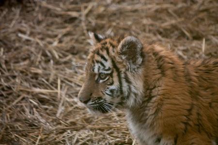 tigre cachorro: Cachorro de tigre lindo descansando en la paja del heno Foto de archivo