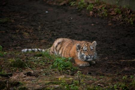 tigre cachorro: Hermoso cachorro de tigre descansando en tjhe suelo en los bosques