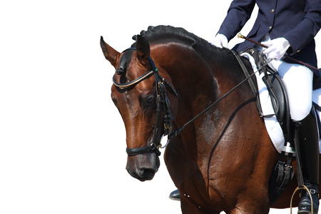 Bay horse portrait during dressage competition isolated on white Stock Photo