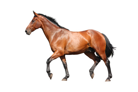 Brown horse trotting fast isolated on white background