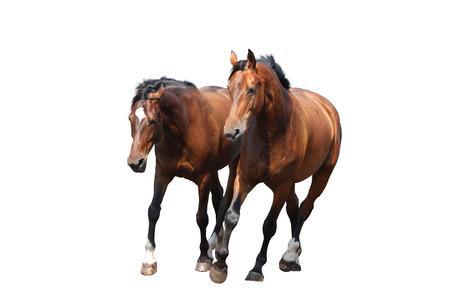 trotting: Two brown horses trotting fast isolated on white background Stock Photo