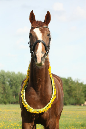 circlet: Portrait of chestnut horse with dandelion circlet at the pasture Stock Photo