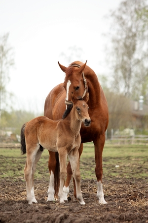 herbivore natural: Brown cute foal portrait with his mother at the pasture