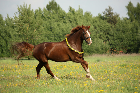 circlet: Chestnut horse galloping at dandelion field with circlet