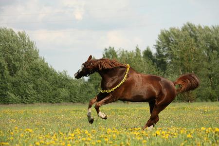 circlet: Castagno cavallo al galoppo in campo tarassaco con cerchietto
