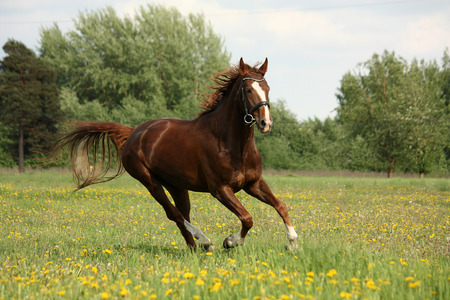 Chestnut beautiful horse galloping at the meadow with flowers Reklamní fotografie
