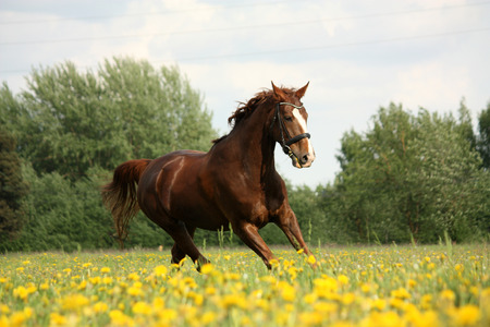 gelding: Chestnut beautiful horse galloping at the meadow with flowers Stock Photo