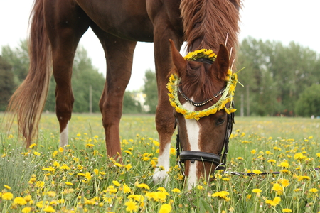gelding: Chestnut horse eating dandelions at the pasture in rural area Stock Photo