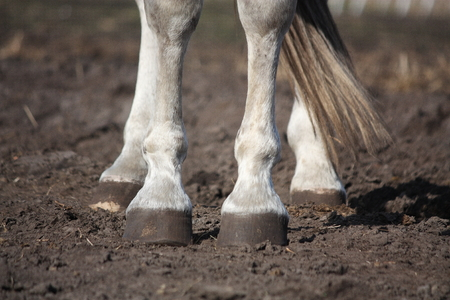 gray horse: Close up of gray horse legs and hooves Stock Photo