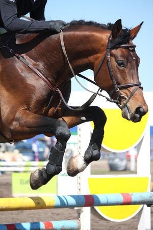 cavallo che salta: Primo piano di cavallo marrone salto ostacoli