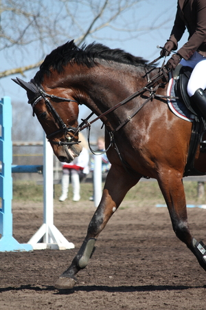 gelding: Close up of running sport horse during show