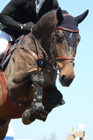 Close up of brown show jumping horse