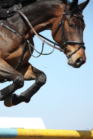 Close up von braunem Springpferd Standard-Bild
