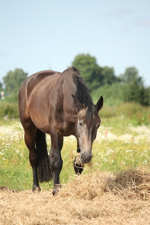 Young gray horse standing at pasture and eating hay on summer photo