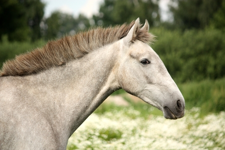 horse andalusian horses: White andalusian young colt portrait at flower field