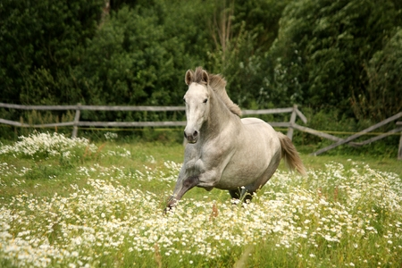 andalusian: White andalusian horse galloping at flower field Stock Photo
