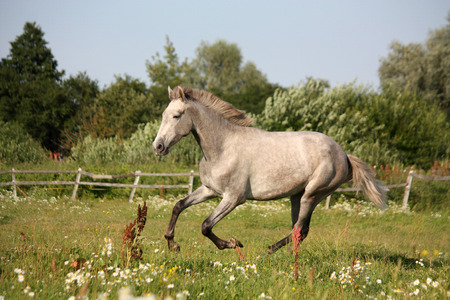 andalusian: Young gray andalusian spanish horse galloping free and happy Stock Photo