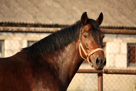 brown horse: Portrait of brown horse neighing in summer